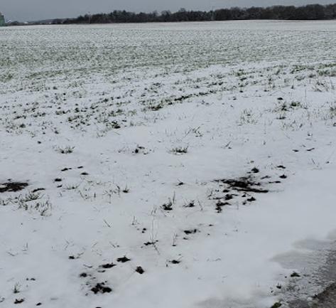 Figure 1. April 21, 2021: Snow on alfalfa established in 2020