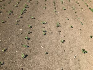 Figure 1. Thin soybean stands due to dry soil conditions.