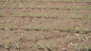 Figure 1. Gaps in corn stands should serve as red flags to dig and investigate.