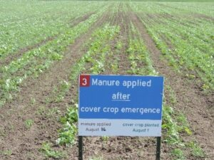 Figure 3. Manure applied 2 weeks after seeding to emerged cover crop - growth 3 weeks after seeding.