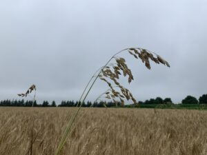 Figure 1. The seed head of chess grass that extends beyond the winter wheat canopy.