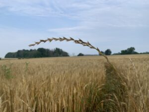 """Figure 2. The """"spike"""" seed head with distinctive short awns of annual/Italian ryegrass poking through a winter wheat canopy."""