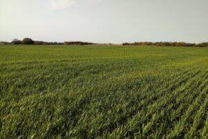Figure 1. An oat cover crop in the fall of 2020 in Waterloo region.