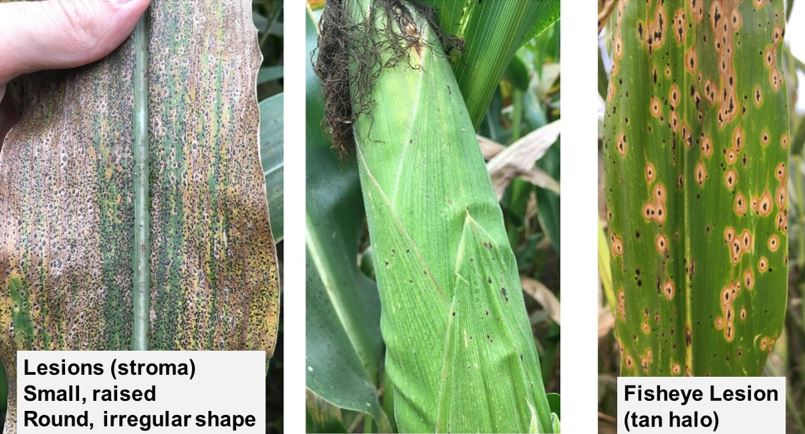 Figure 2. Scouting for Tar Spot