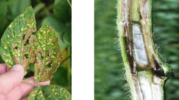 Figure 3. SDS leaf symptoms (left) and stem (right)