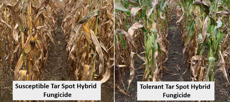 Figures 5 & 6. Difference between susceptible and tolerant hybrid tar spot control with fungicide