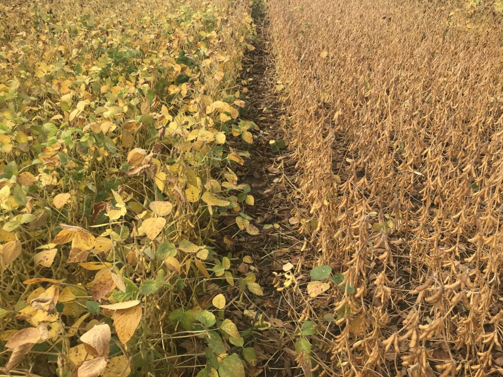 Figure 1. Fertilizer applied this spring on right hand side of picture in a low testing field. (40 lbs/ac actual P and 70 lbs/ac of actual K)
