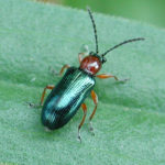 Cereal Leaf Beetle Adult