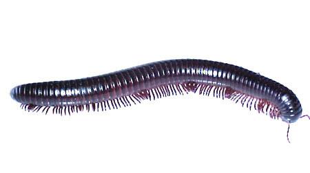 millipede-w